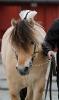 Nice Fjord Horses_5